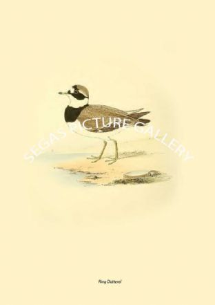 Ring Dotterel
